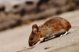 Mice Exterminator, Pest Control in West Horsley, East Horsley, Effingham, KT24. Call Now 020 8166 9746