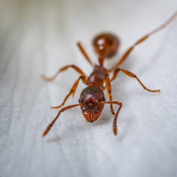 Field Ants, Pest Control in West Horsley, East Horsley, Effingham, KT24. Call Now! 020 8166 9746