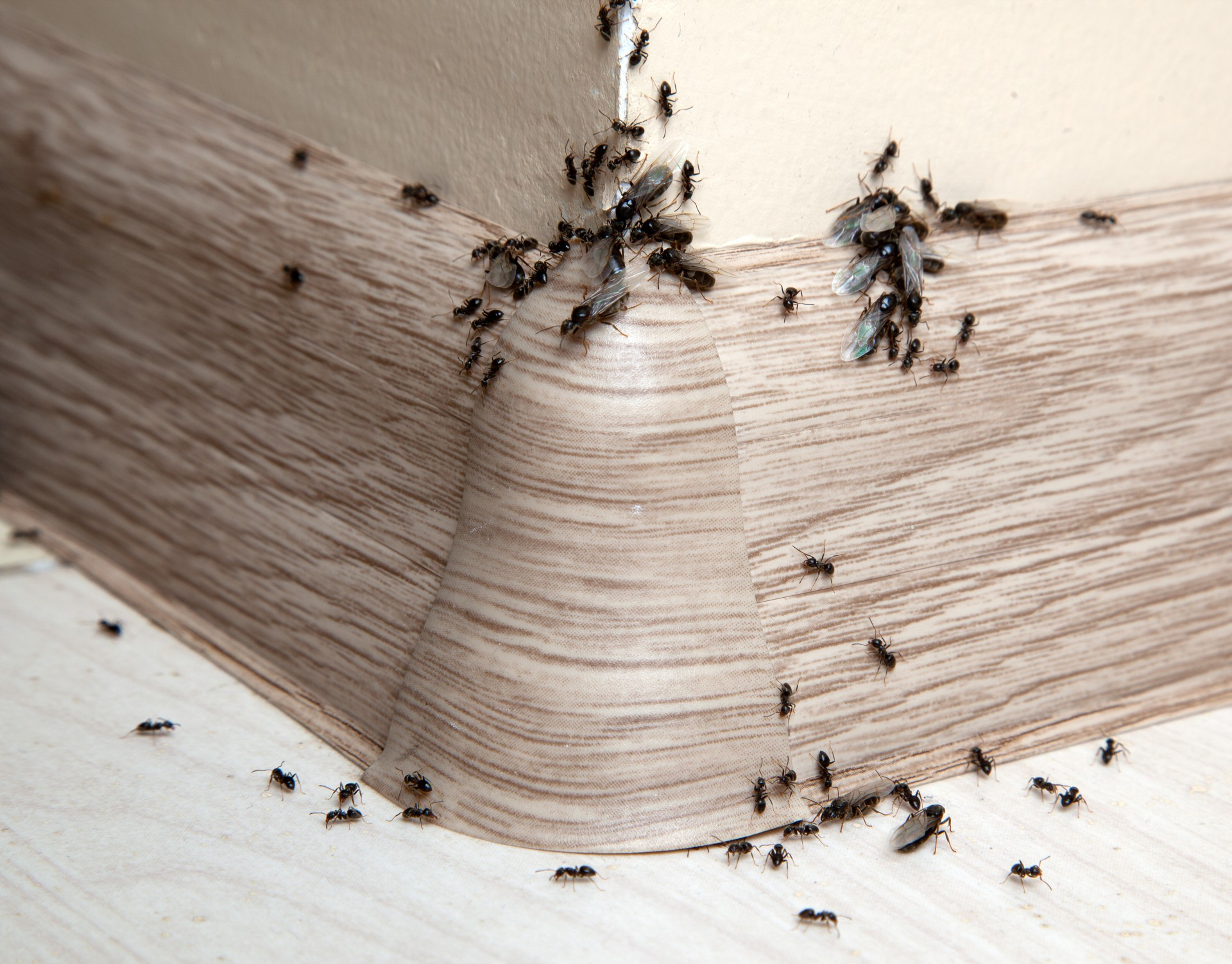 Ant Infestation, Pest Control in West Horsley, East Horsley, Effingham, KT24. Call Now 020 8166 9746