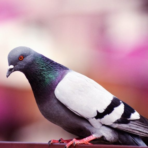 Birds, Pest Control in West Horsley, East Horsley, Effingham, KT24. Call Now! 020 8166 9746