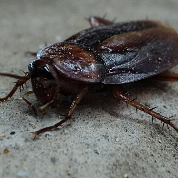 Cockroaches, Pest Control in West Horsley, East Horsley, Effingham, KT24. Call Now! 020 8166 9746