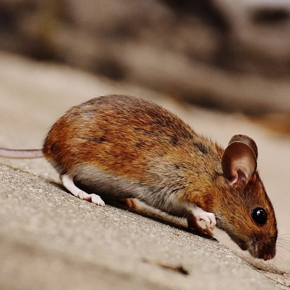 Mice, Pest Control in West Horsley, East Horsley, Effingham, KT24. Call Now! 020 8166 9746