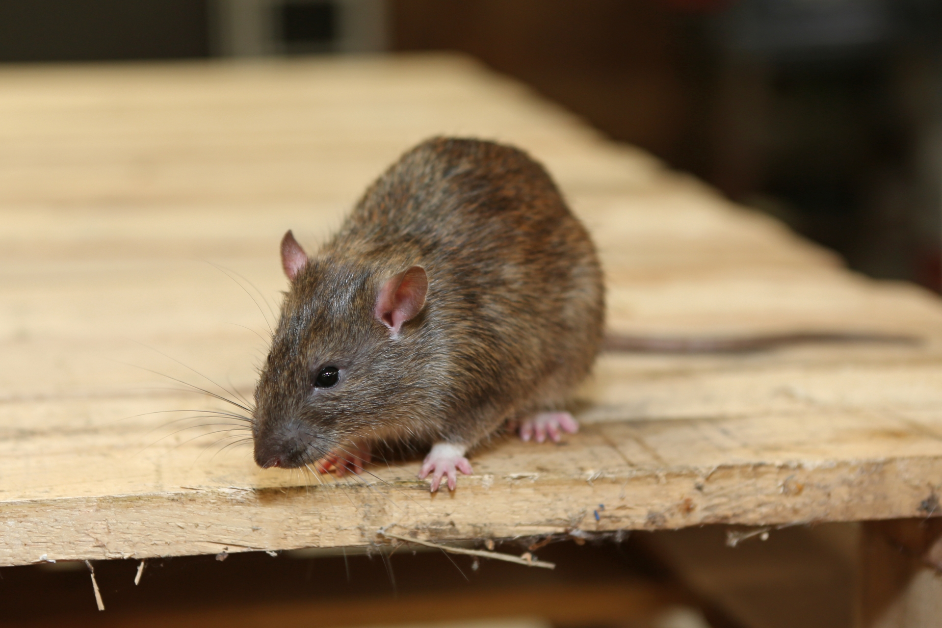 Rat Infestation, Pest Control in West Horsley, East Horsley, Effingham, KT24. Call Now 020 8166 9746