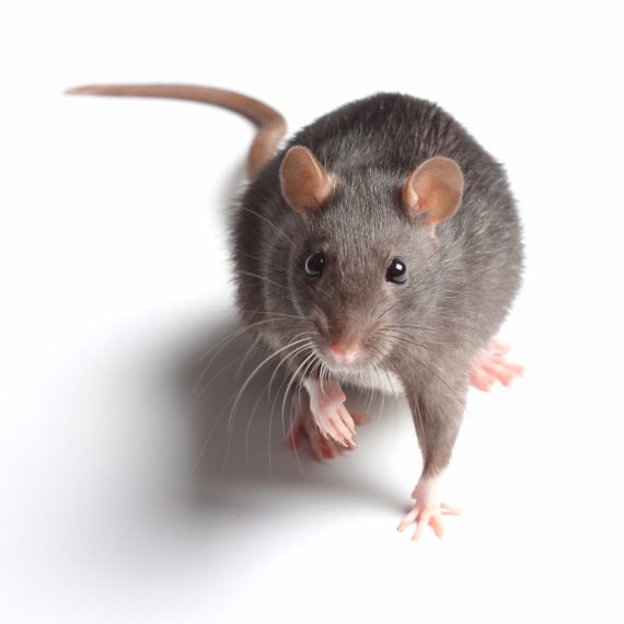 Rats, Pest Control in West Horsley, East Horsley, Effingham, KT24. Call Now! 020 8166 9746