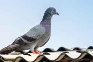 Pigeon Control, Pest Control in West Horsley, East Horsley, Effingham, KT24. Call Now 020 8166 9746