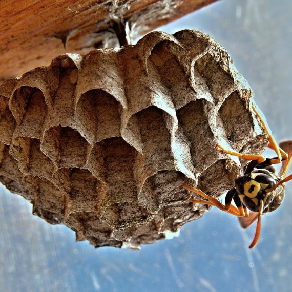 Wasps Nest, Pest Control in West Horsley, East Horsley, Effingham, KT24. Call Now! 020 8166 9746
